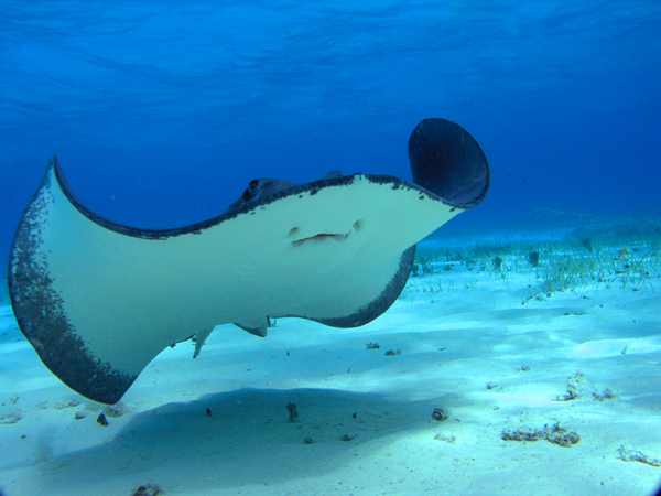 stingray in Grand Cayman