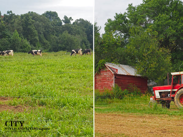 Happy Cow Creamery Barn and Cows