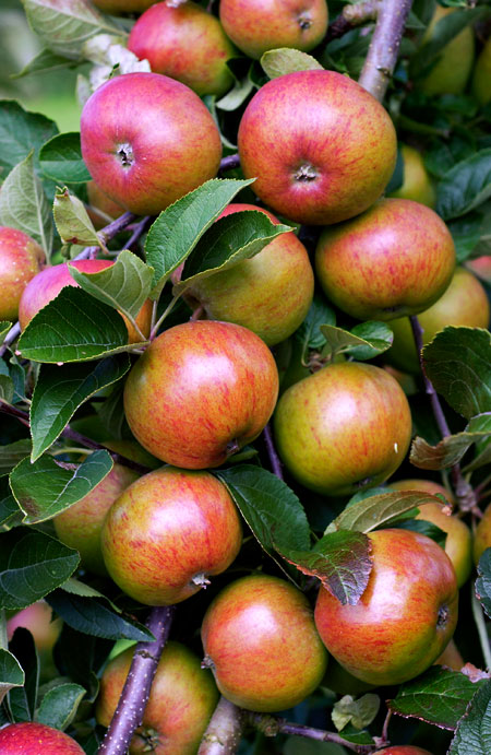 Apples Growing on the Tree