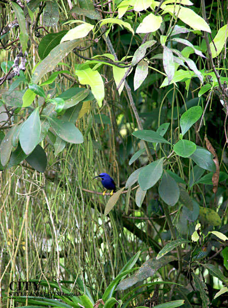 Purple Honeycreeper at Asa Wright Nature Centre, Trinidad. / K&S Media