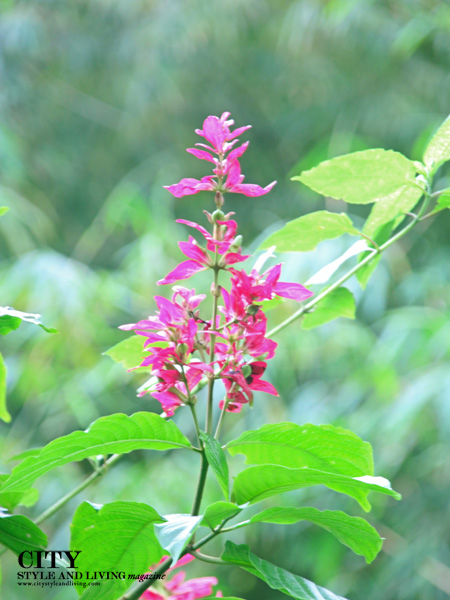 Pretty pink flowers on the Discovery Trail at Asa Wright Nature Centre, Trinidad. /K&S Media