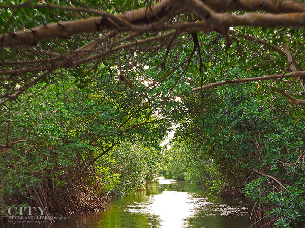 Mangrove at the Caroni Swamp Bird Sanctuary