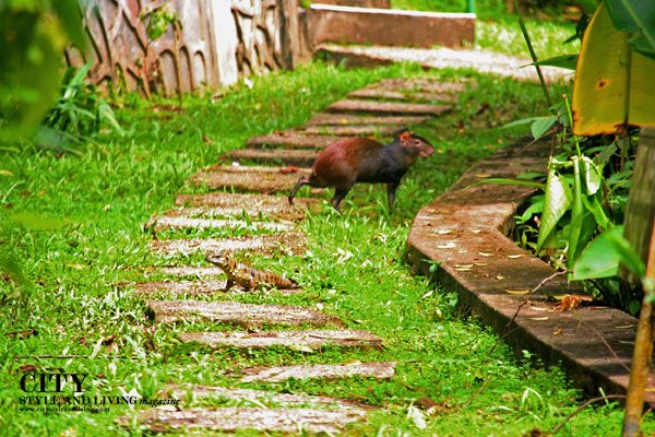 An agouti and lizard cross paths at Asa Wright Nature Centre, Trinidad. /K&S Media.