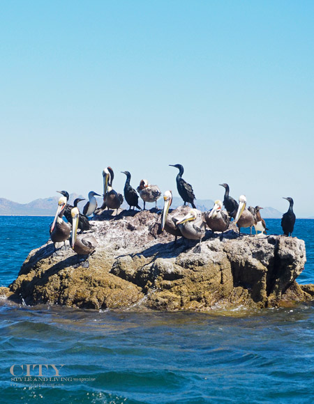 Birds and Blue Footed Booby at  Sea in Loreto Mexico