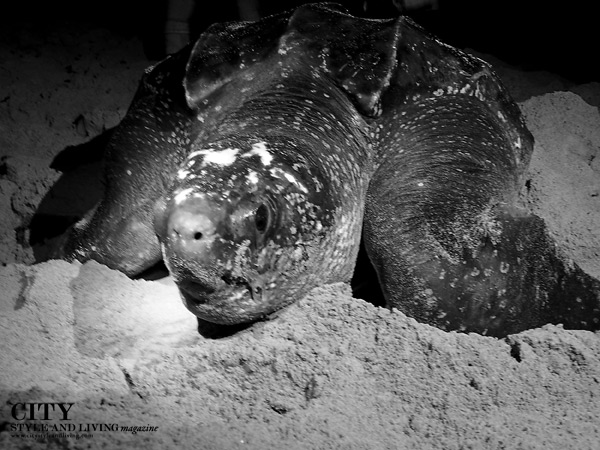 Leatherback Turtle Nesting Matura Trinidad City Style and Living