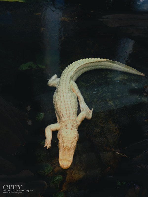 City Style and Living Magazine San Francisco Academy Sciences Albino Alligator