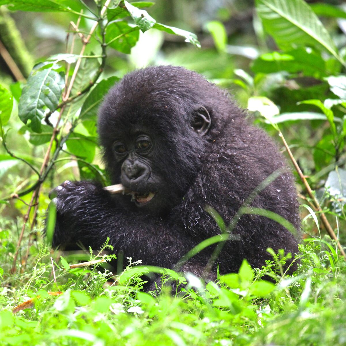 Trek into the lush forests of Rwanda to see mountain gorillas with Gondwana EcoTours.
