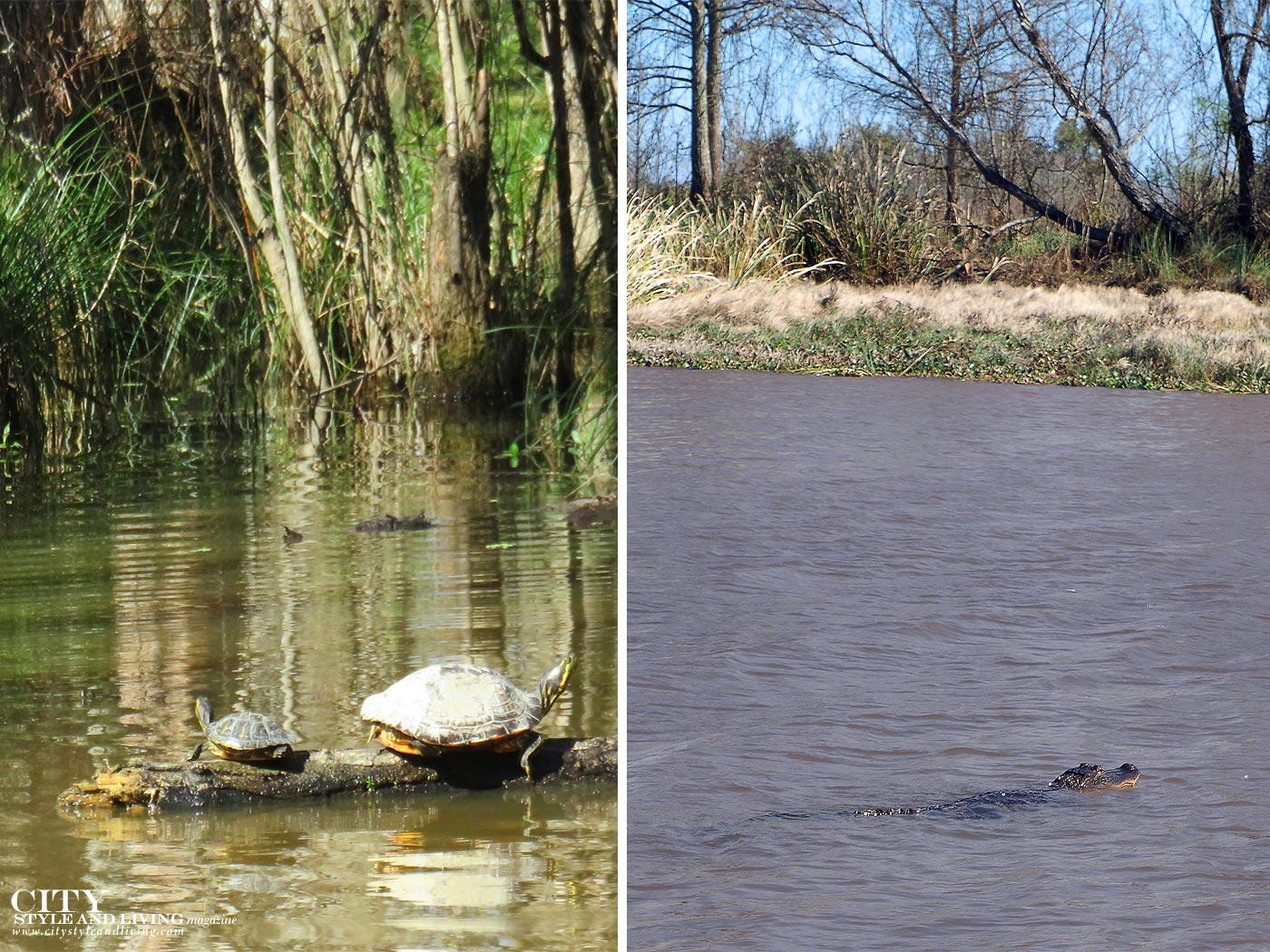 City Style and Living Magazine Honey Swamp alligator and turtle in water