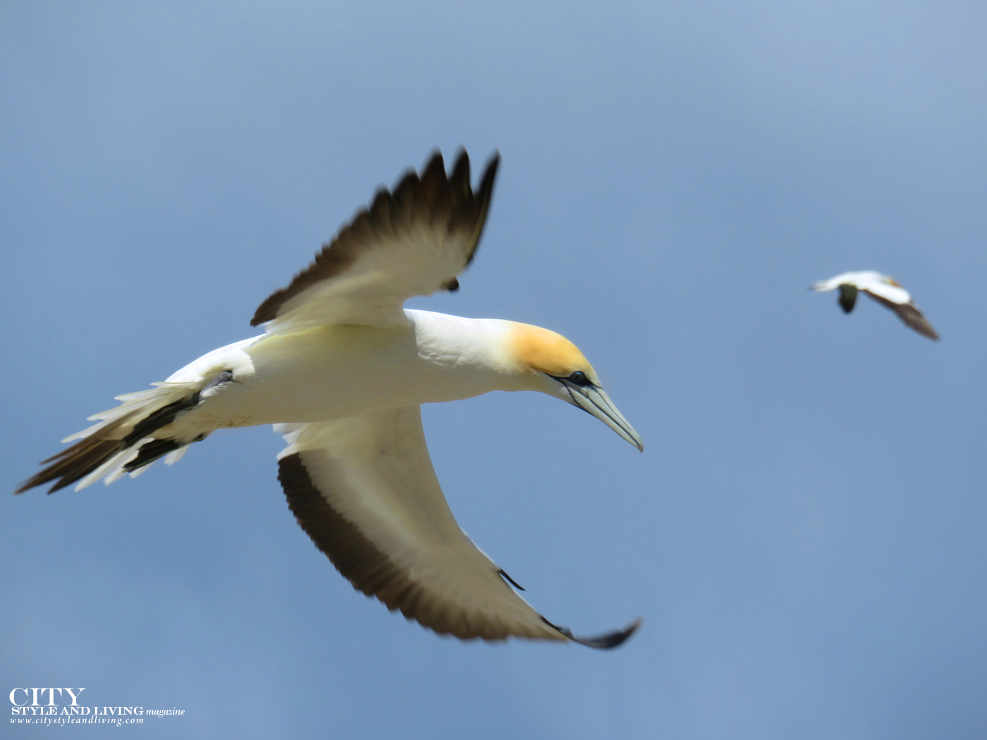 City Style and Living Magazine gannet safaris overland closeup of gannet hawkes bay new zealand