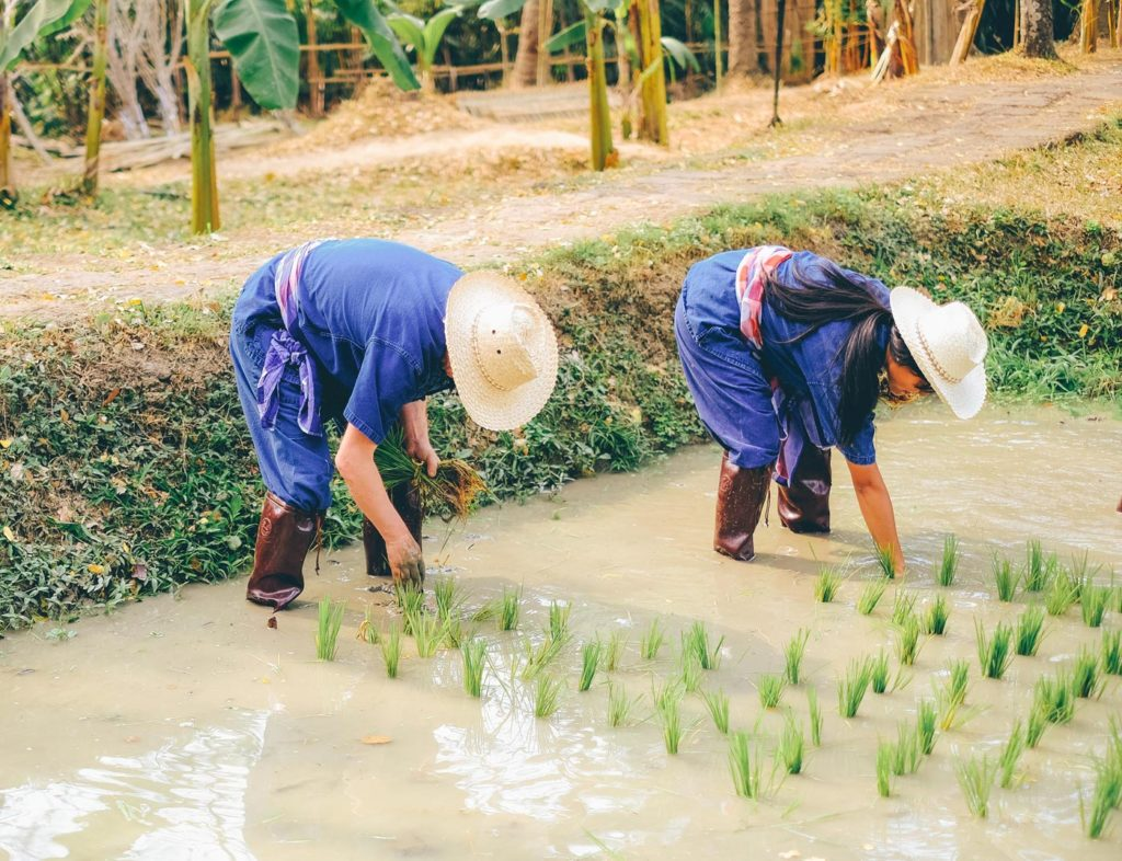 City Style and Living Magazine Edible Northern Thailand: The Roger Van Damme Chronicles Sven Van Coillie Van Damme planting rice