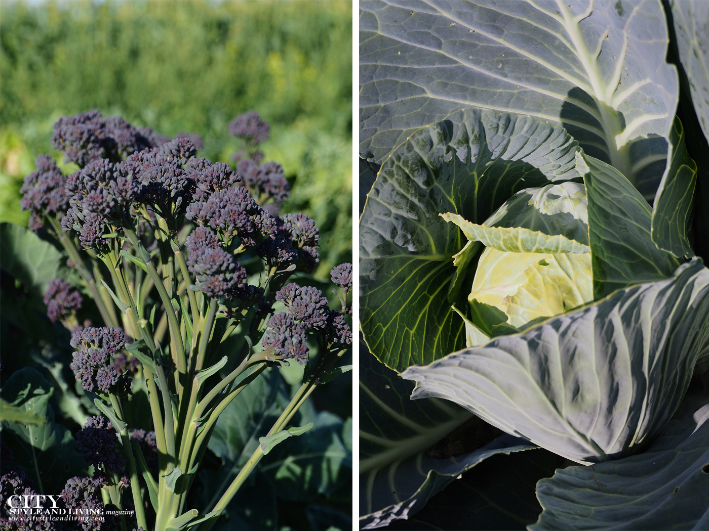 City Style and Living Magazine Travel Foodies Guide Red Deer Alberta purple broccoli and cabbage